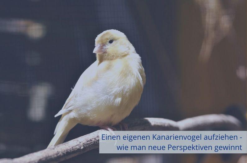 Einen eigenen Kanarienvogel aufziehen – wie man neue Perspektiven gewinnt